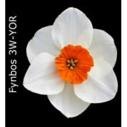 Div 3 - Small Cupped Daffodils W-O/R