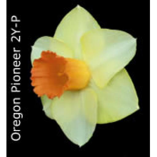 Div 2 - Large Cupped Daffodils Y-P