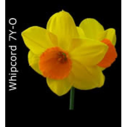 Div 7 - Jonquilla Daffodils Y or O perianth