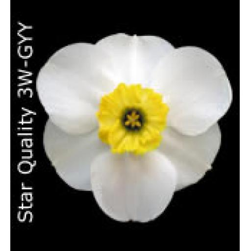 Div 3 - Small Cupped Daffodils W-Y