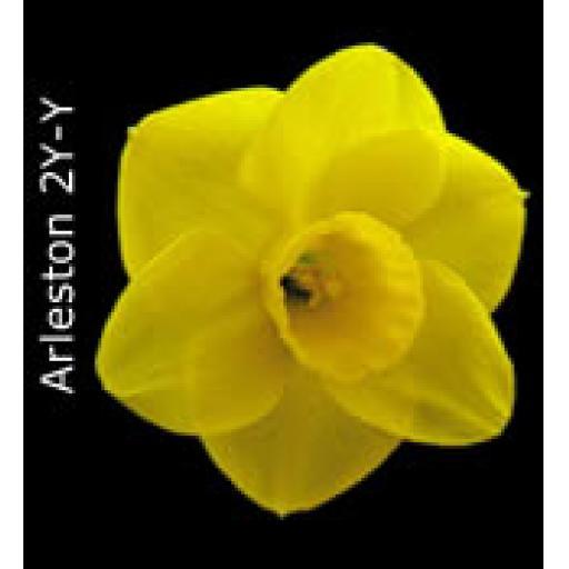 Div 2 - Large Cupped Daffodils Y-Y