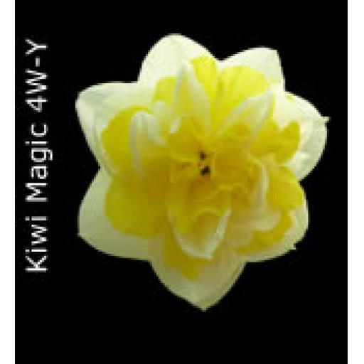 Div 4 - Double Daffodils W-W/Y or O/R