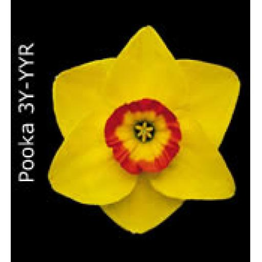 Div 3 - Small Cupped Daffodils Y-YYO/R/P