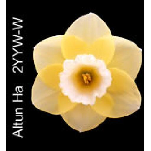 Div 2 -Large Cupped Daffodils Y-W