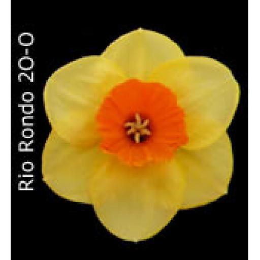 Div 2 - Large Cupped Daffodils O-O/R