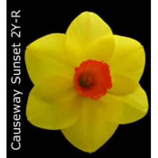 Div 2 - Large Cupped Daffodils Y-O/R