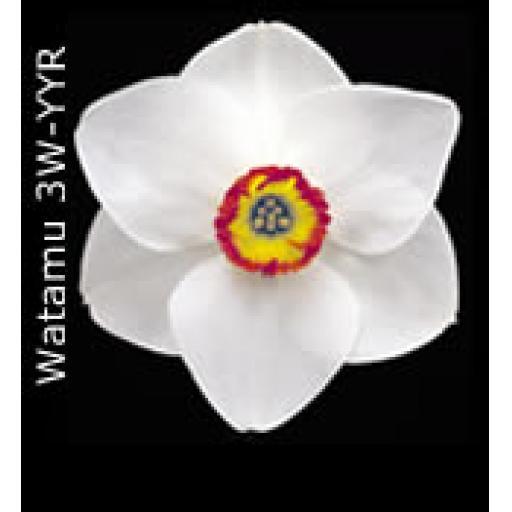 Div 3 - Small Cupped Daffodils W-YYR