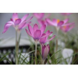 Crocus tommasinianus 'Roseus' Pack of 10 Bulbs