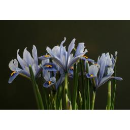 Iris reticulata 'Alida' Pack of 15 Bulbs