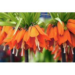Fritillaria imperialis Aurora Pack of 3 Bulbs
