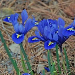 Iris reticulata 'Harmony' Pack of 15 Bulbs
