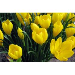 Sternbergia lutea Pack of 3 bulbs