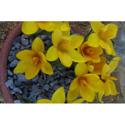 Crocus korolkowii 'Kiss of Spring' Pack of 8 Bulbs