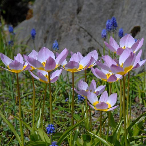 Tulipa bakeri 'Lilac Wonder' Pack of 10 Bulbs