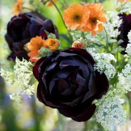 tulipa_black_hero_dsc3436a.jpg
