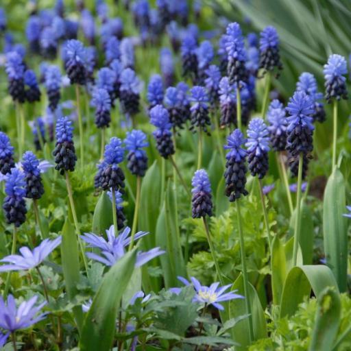 muscari_latifolium_anemone_blanda_1200b.jpg