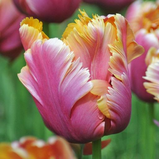 Tulip 'Amazing Parrot' Pack of 8 Bulbs