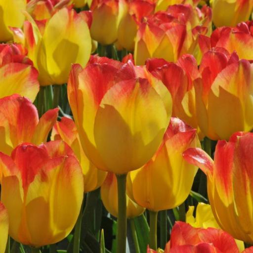 Tulip 'Suncatcher' Pack of 8 Bulbs