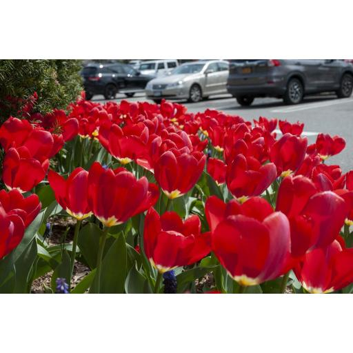 Tulip 'Red Purissima' Pack of 8 Bulbs
