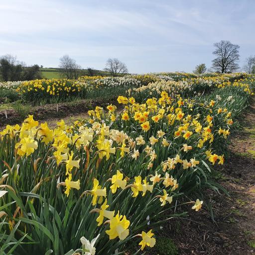 Daffodil Garden Mix Bag of 10 bulbs