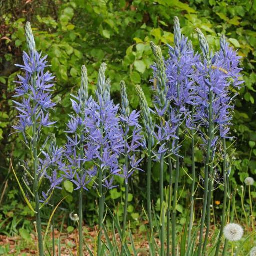 Camassia leichtlinii 'Blue Danube' Pack of 4 bulbs