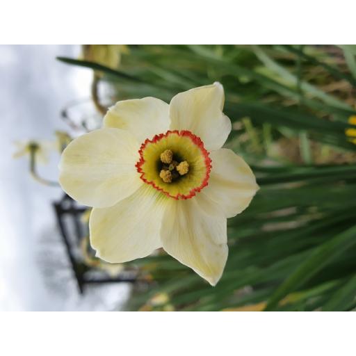 Narcissus poeticus var hellenicus